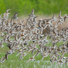 Dunlins in Flight
