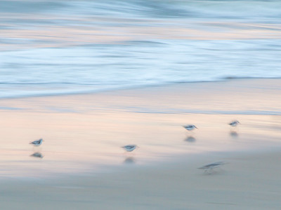 Sanderlings in the Surf #1