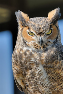 Horned owl with menacing look