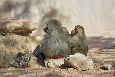 Baboons grooming each other