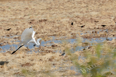 Egret in flight over marsh
