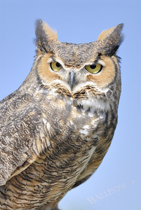 Horned owl looking into the camera