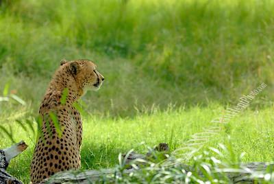 Cheetah_looking