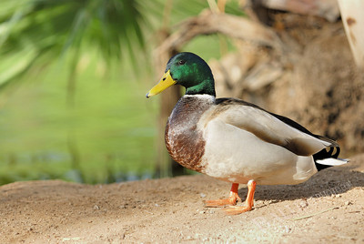Mallard duck sunning himself