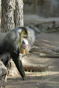 Baboon carrying bark in his mouth