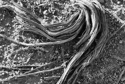 Exposed roots in the desert.