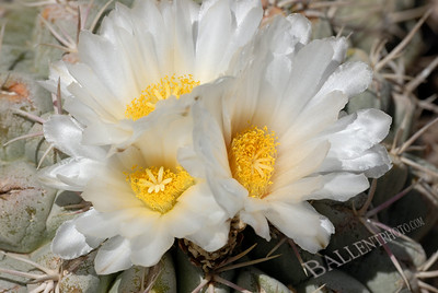 Desert cactus with blossoming flower.