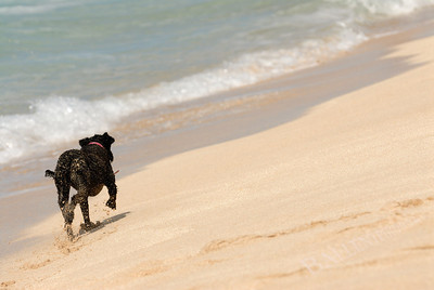 Playful dog running and playing on the beach in Hawaii