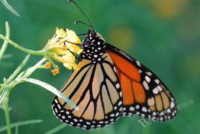Monarch butterfly  feeding on some flowers.