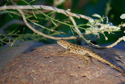 Collared lizard sunning on a rock as the sun is setting.