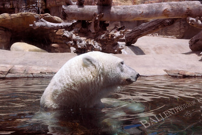 Polar bear hanging out in his pool