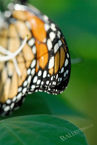 Close up of the delicate wing of a monarch butterfly