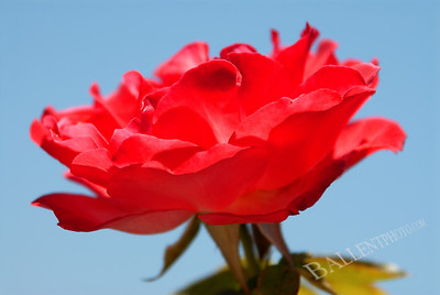 Isolated rose with the sky as a background