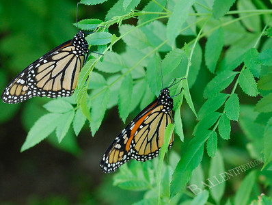 Couple of resting monarch butterflies