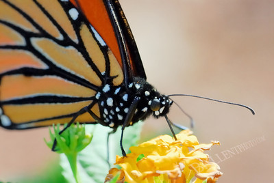 Close up of a monarch butterfly eating from a lantana