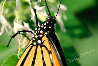 Monarch butterfly preparing for its migration
