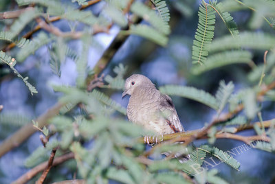 Mourning dove (Zenaida macroura) resting on a branch in a mesquite tree