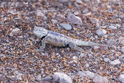 Spiney lizard (Sceloporus magister) looking at me