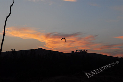 Bird in flight during sunset at the San Diego Wild Animal Park.