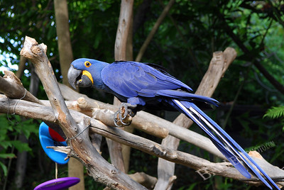 Blue parrot sitting on its perch