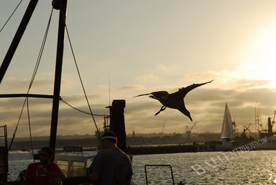 Seagull diving in the sunset