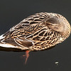 Female Mallard Sleeping