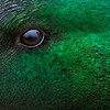 Mallard eye