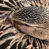 Female Mallard Sleeping Close
