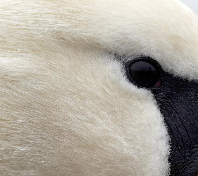Swan eye