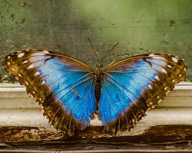 Metallica Butterfly