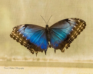 A ragged morpho butterfly