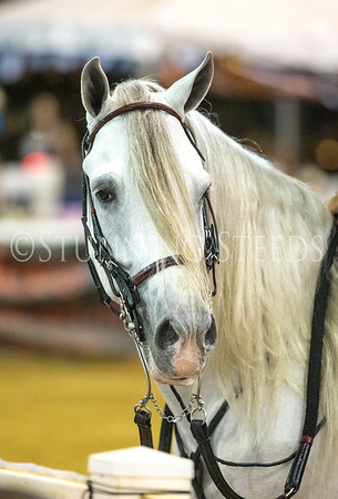 Classic Fino Stallions