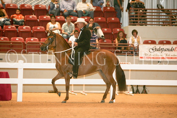 37 Classic Fino Schooling Fillies 49-60 months