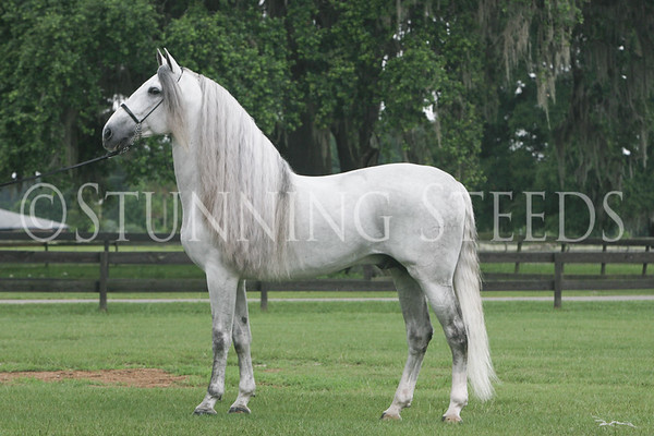 Andalusian Colts & Stallions