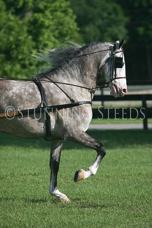 Andalusian Driving Gelding