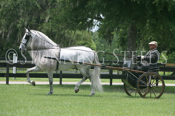 Driving - Andalusian Stallion
