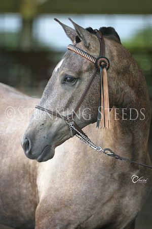 Halter - Andalusian Fillies