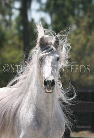 Trueno - Andalusian Stallion