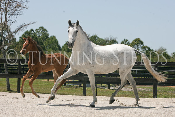 Gray Andalusian Mare & Foal