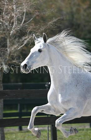 Gray mare
