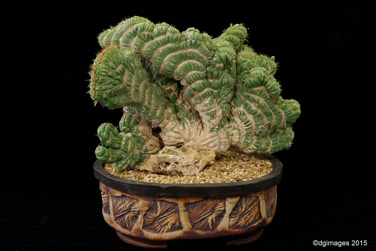 Best Crested Plant - Eulychnia castanea - fan crested  form - from Ron Harris', Galt, CA