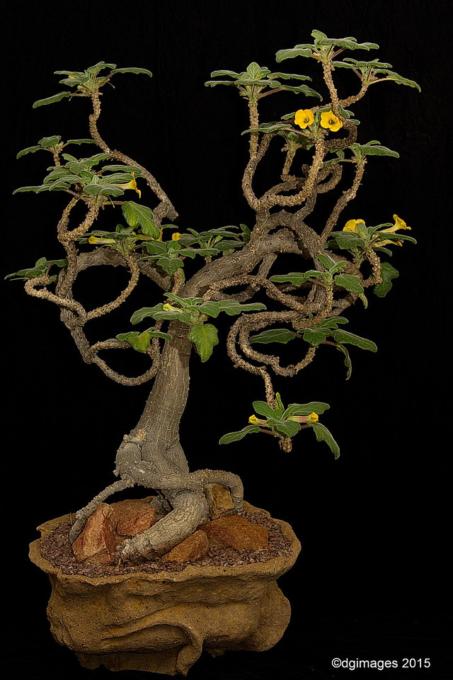 Best Madagascan Plant - Uncarina roesesliana - by Escondido, CA's Peter Walkowiak