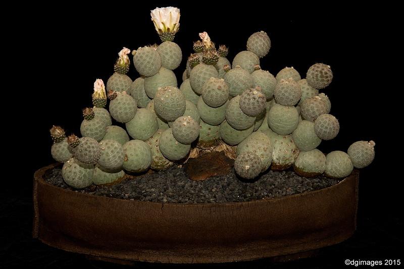 Best Staged Entry - Advanced Class - Tepherocactus alexanderi var. geometricus from Ron Harris.