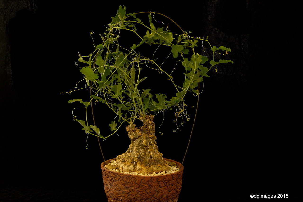 Novice Class - Best Succulent - Cephalopentranda ecirrhosa.  Santa Margarita, CA's Harry & Mary Harlow