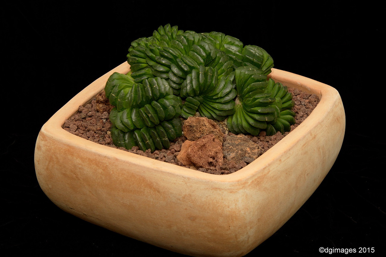 Best Rookie - Succulent - Denis Lingo - This Haworthia truncata is a potential winner at any  level!