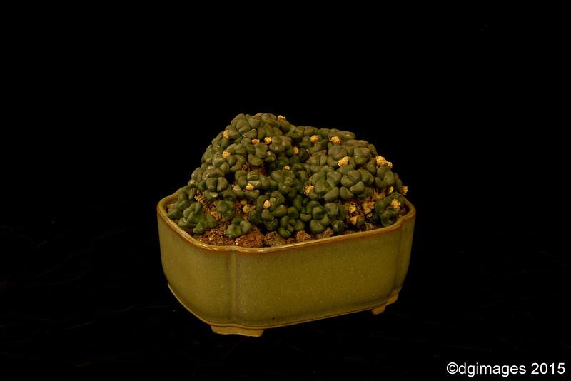 Best Mesemb - Aloinopsis schooneesii - from Paso Robles, CA's Charles & Joann Spotts