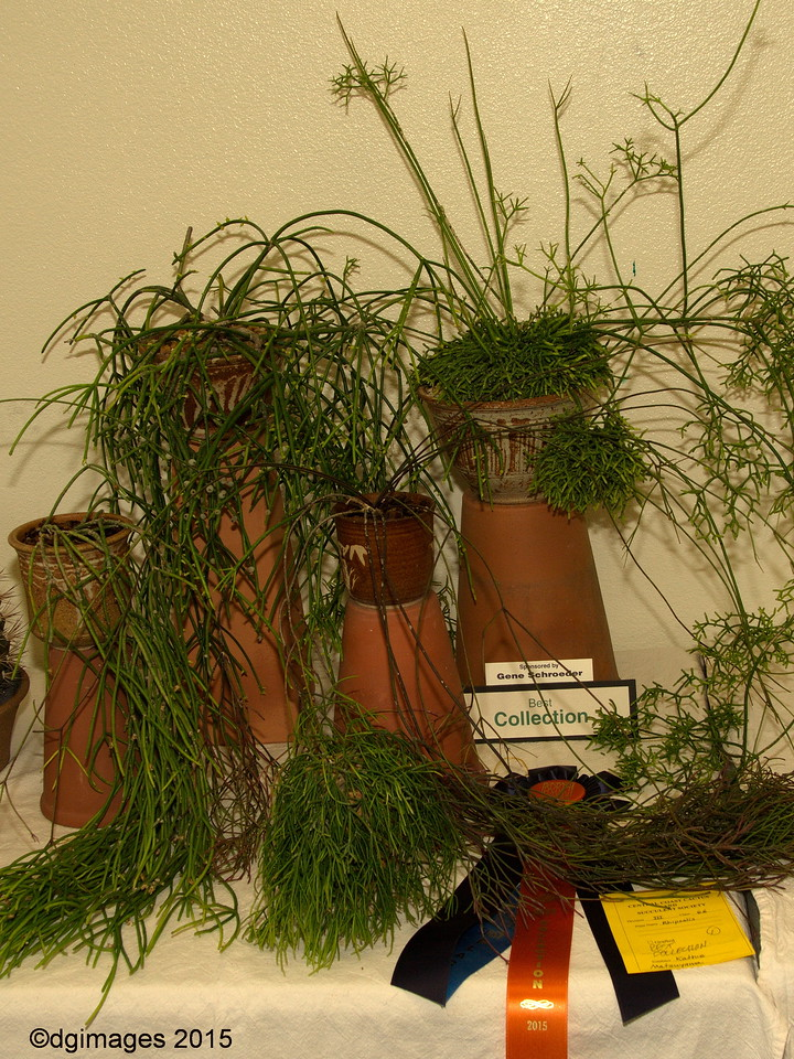 Best Collection - Rhipsalis - from Kathie Matsuyama +points for getting it from her Nipomo, CA home intact.