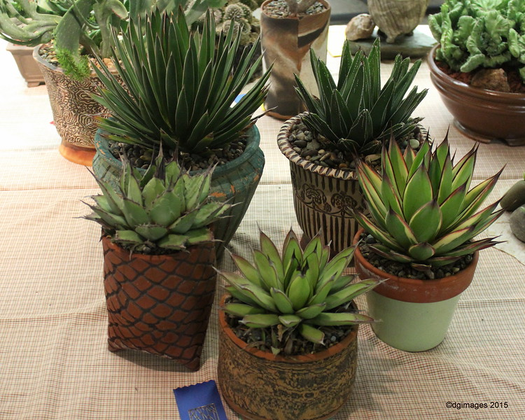 "A rosette for this collection of ""pot sized"" agaves was well deserved for Loring Manley"