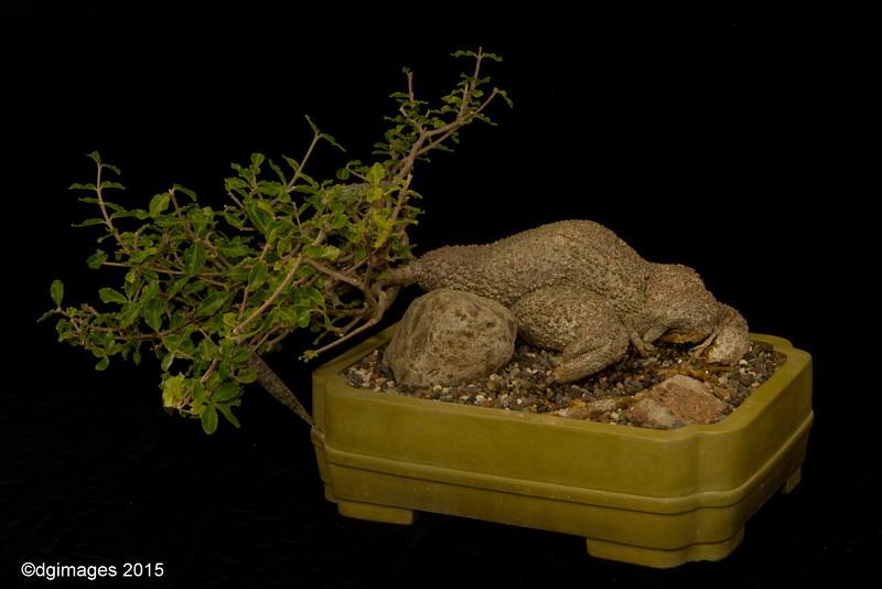 Advanced Class - Best Succulent - Fockea crispa - from Nipomo, CA's Kathie Matsuyama