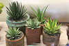 Another collection, here of Agaves